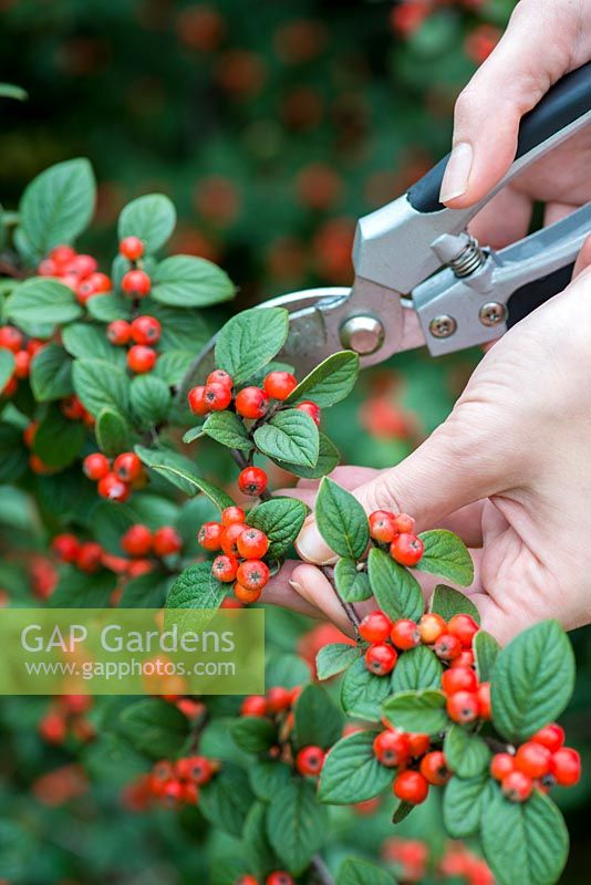Hips and berries posie step by step in November. Cutting a berried stem from a cotoneaster tree.