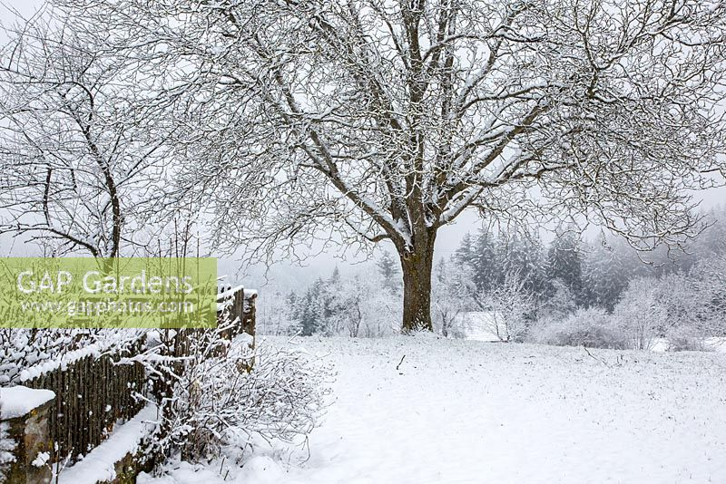 Winter scene with wooden fence and walnut tree - Juglans regia