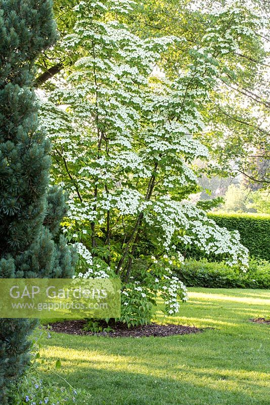 gap gardens cornus kousa var chinensis 39 claudia. Black Bedroom Furniture Sets. Home Design Ideas