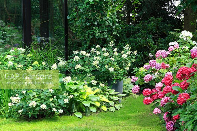 hydrangea paniculata wims red rispenhortensie 39 wims red. Black Bedroom Furniture Sets. Home Design Ideas