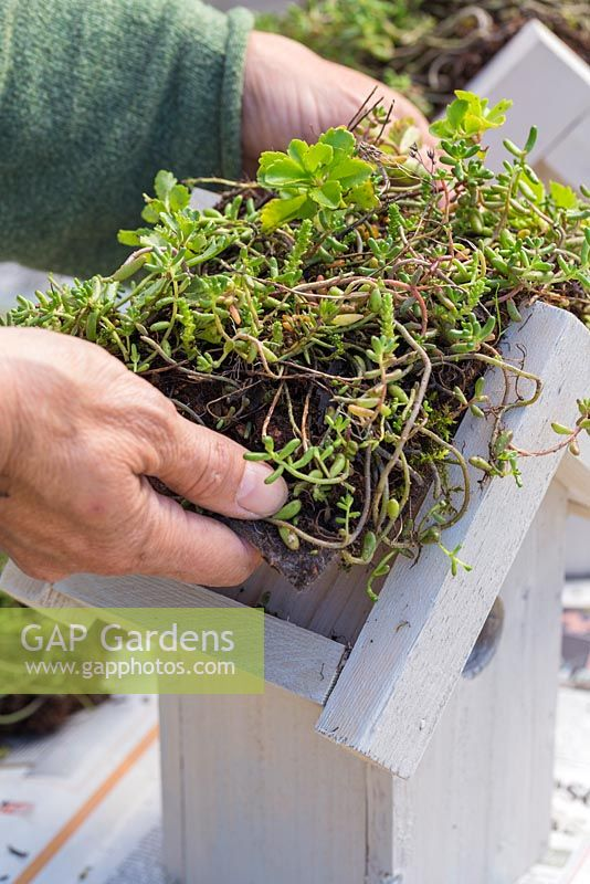 Cut Sedum matting to fit perfectly inside the roof of your bird house