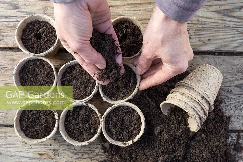 Adding a layer of compost over freshly sown Morning Glory 'Scarlett O'Hara' seeds