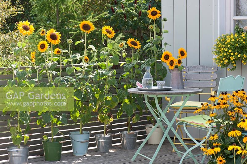 Balcony with Helianthus annuus in pots, Rudbeckia 'Goldsturm' and Calibrachoa