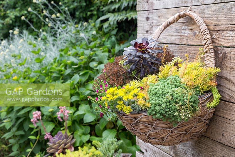 Sedum hanging basket planted with Aeonium arboreum 'Atropurpureum', Sedum sexangulare, Sedum rupestre 'Angelina', Sedum spathulifolium 'Cape Blanco', Sedum hakonense 'Chocolate Ball' and Delosperma 'Jewel of Desert Ruby'
