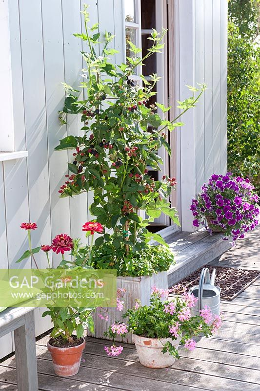 gap gardens blackberry grown in a container feature by friedrich strauss gap gardens. Black Bedroom Furniture Sets. Home Design Ideas