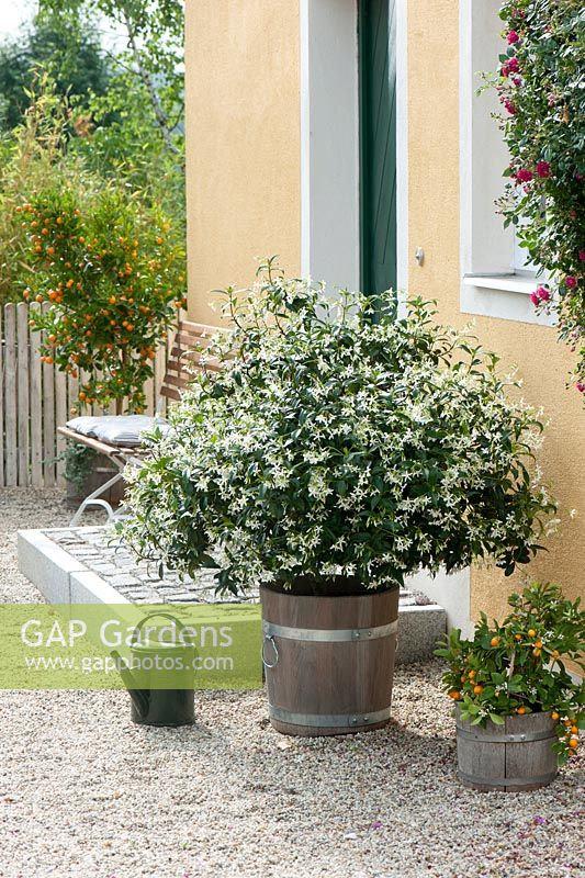 Trachelospermum jasminoides and Citrofortunella microcarpa in wooden barrels