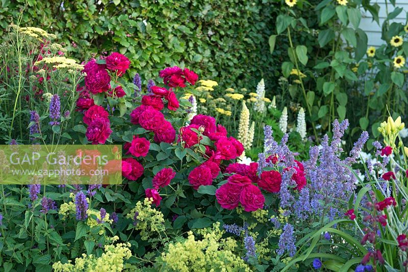 Just Retirement: A Garden For Every Retiree. RHS Hampton Court Palace Flower Show 2015. Rosa 'Darcey Bussell' with Alchemilla mollis, nepeta and achilleas.