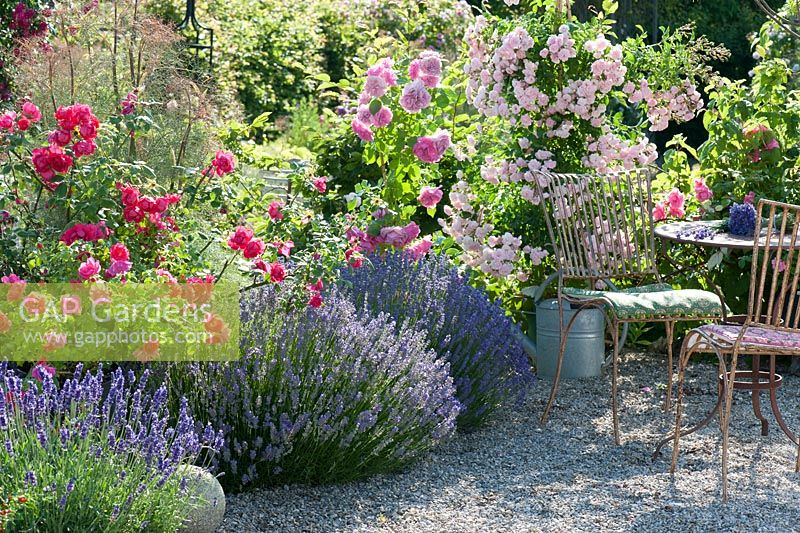 Lavandula with Rosa in border