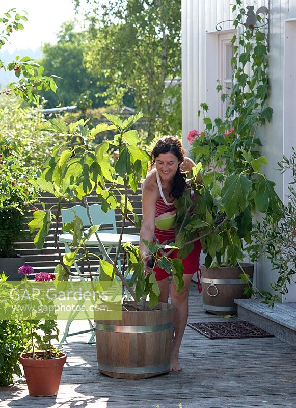 Woman harvesting fresh figs - Ficus carica grown in wooden pot on the terrace
