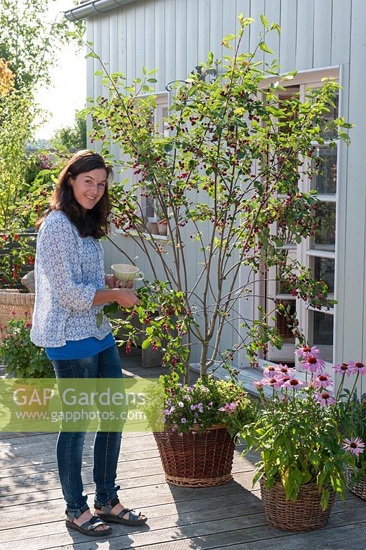 Woman picking berries of Amelanchier laevis under planted with Calibrachoa in wicker basket, Echinacea purpurea - purple coneflower