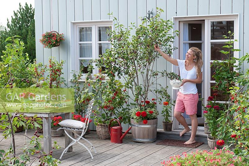 Woman harvesting container grown fruit on terrace. Ribes rubrum - red and white currants.   with Pelargonium peltatum - hanging geraniums in basket