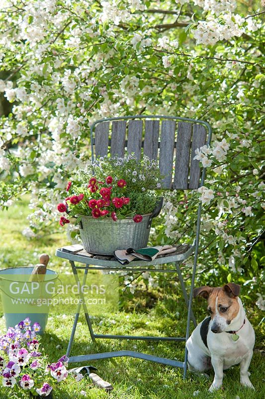 Pet dog sitting alongside chair and planting  of Bellis, Thymus, Malus, Viola wittrockianan