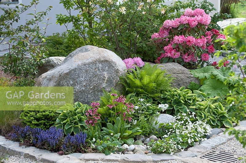 Front garden bed with rocks and perennials. Hosta sieboldiana 'Wide Brim' Matteuccia struthiopteris, Rodgersia syn. Astilboides tabularis, Viola sororia - Blue Violet, Phlox divaricata 'White Perfume', Primula japonica and Ajuga before boulders, Rhododendron yakushimanum