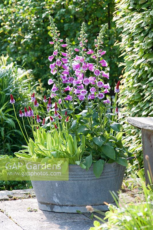 Digitalis 'Purpurea' and Primula vialii in metal planter