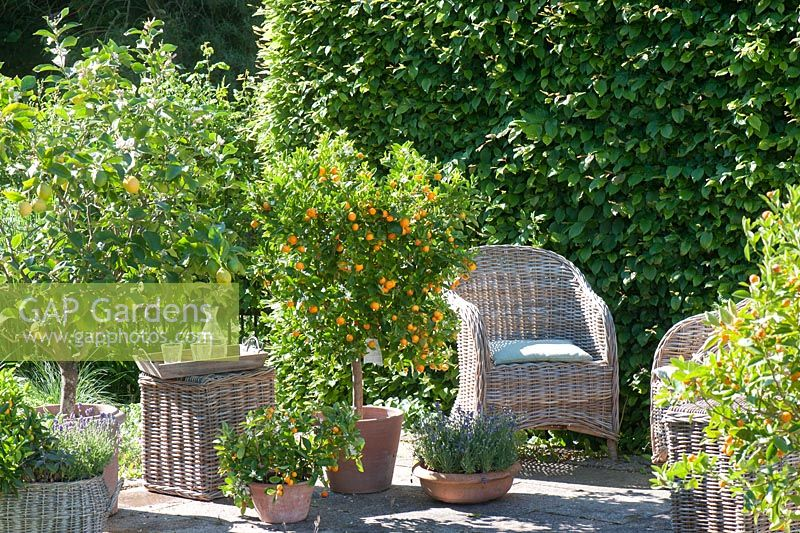 Citrus limon - lemon, Citrofortunella microcarpa and Lavandula. Hornbeam hedge provides privacy
