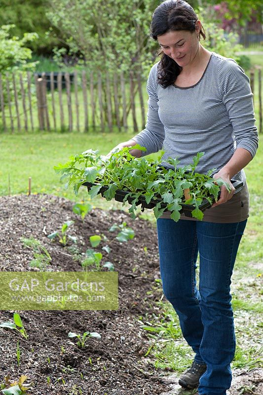 Woman carrying propagation tray with Brassica campestris japonica - Asian Salad Mizuna Early seedlings