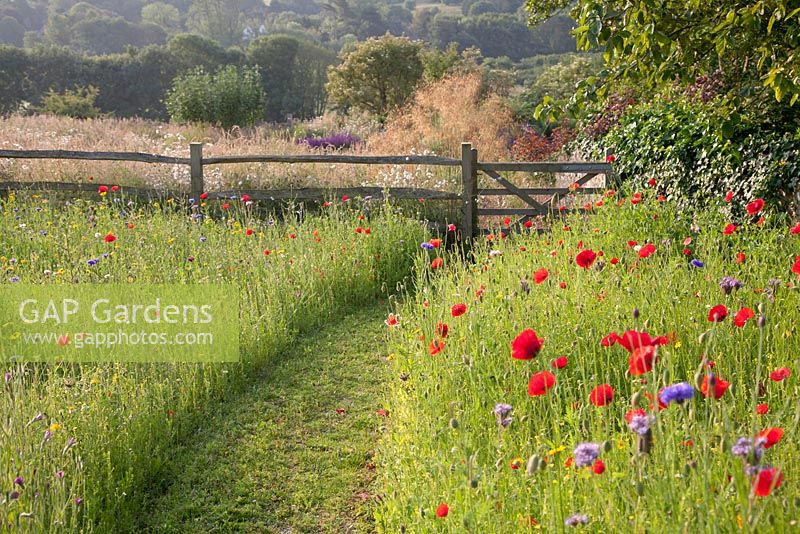 Mown pathway to gate through wildflower meadow with Phacelia tanacetifolia and Papaver rhoeas - field poppy. Follers Manor, Sussex. Designed by: Ian Kitson