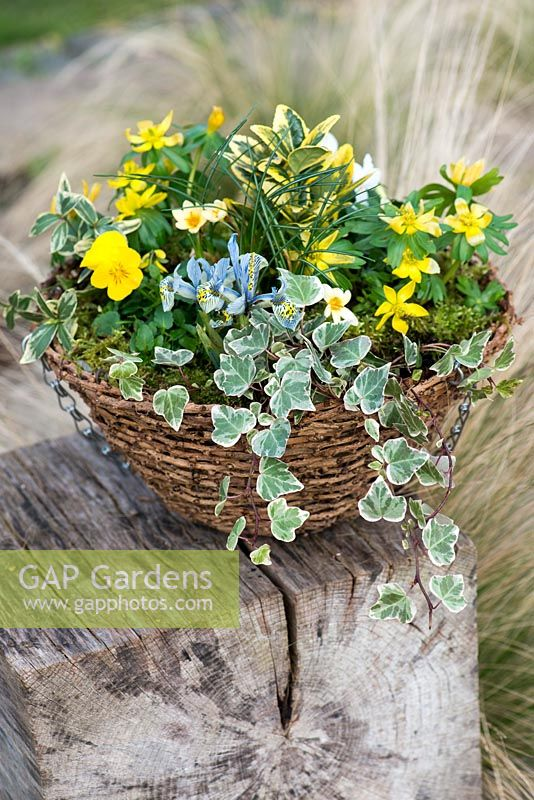 Winter hanging basket planted with winter aconite, white viola, Crocus 'Cream Beauty', variegated ivy, Iris reticulata 'Katharine Hodgkin' and Euonymus fortunei.