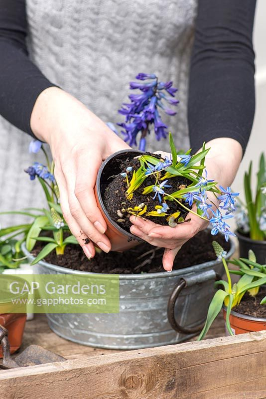 Planting an April Container. Step 8: planting Scilla siberica.