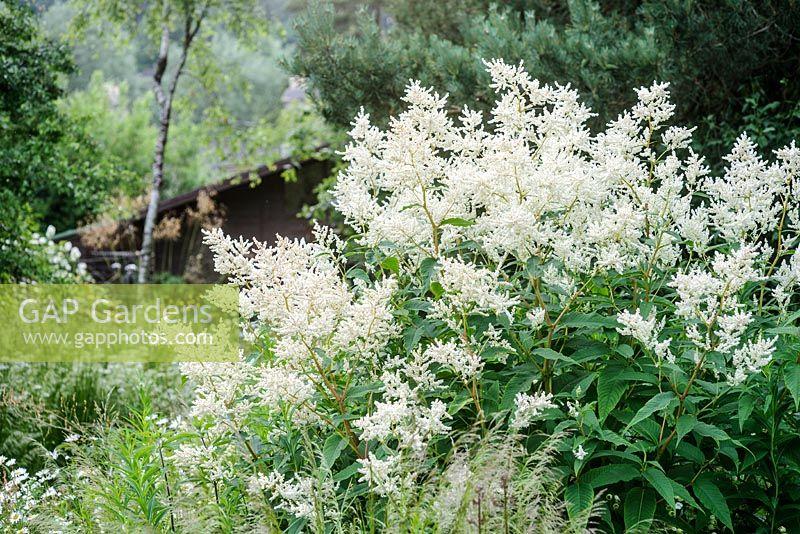 Gap Gardens Persicaria Polymorpha White Fleece Flower Image No