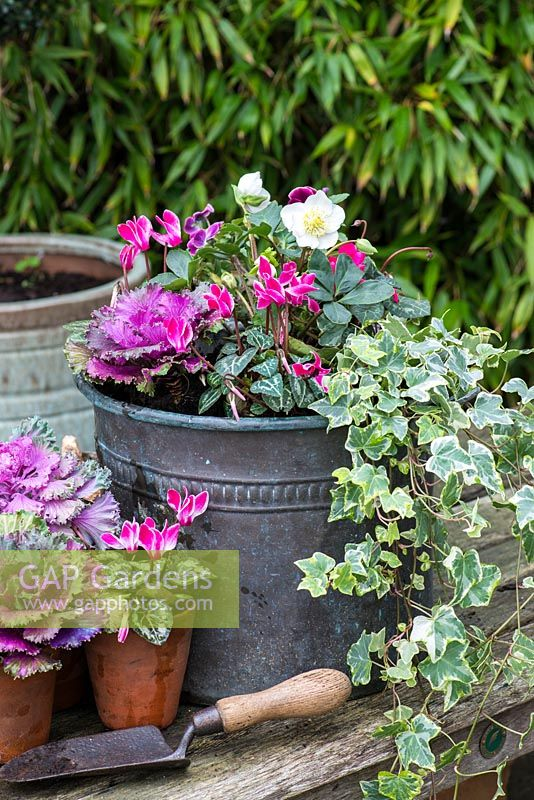 Planting a winter container. Pink Cyclamen hederifolium, winter violas, trailing variegated ivy and white Helleborus niger 'Christmas Carol'. In pots in front, ornamental cabbage and pink cyclamen.
