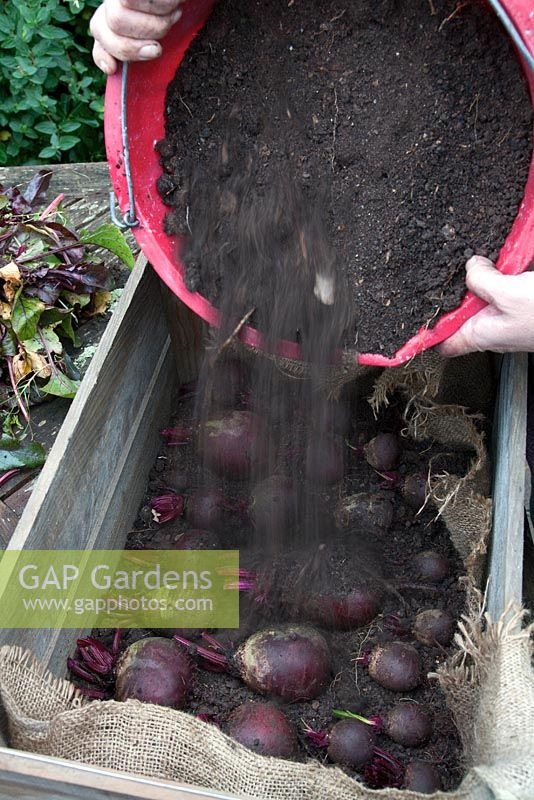 Step-by-step. Storing root vegetable beetroot in a box. Cover with more soil