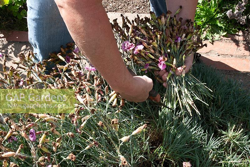Cutting of spent Dianthus flowers
