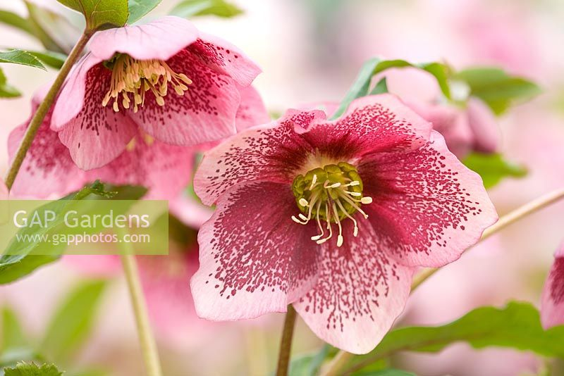 gap gardens helleborus orientalis hybrids 39 harvington pink speckled 39 harvington hellebores. Black Bedroom Furniture Sets. Home Design Ideas