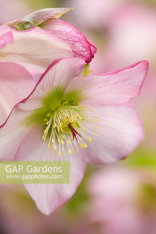 gap gardens helleborus orientalis hybrids 39 harvington rebekah 39 harvington hellebores image. Black Bedroom Furniture Sets. Home Design Ideas