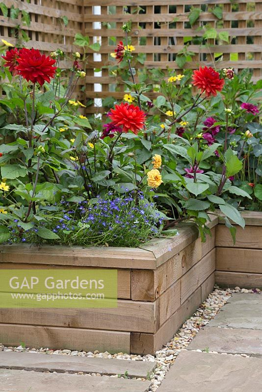 Overview of the Dahlia borders planted in raised beds constructed from WoodBlocX. Dahlia 'Garden Wonder', Thunbergia alata