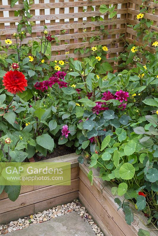 Overview of the Dahlia borders planted in raised beds constructed from WoodBlocX. Dahlia 'Purpinka', Thunbergia alata, Tropaeolum.