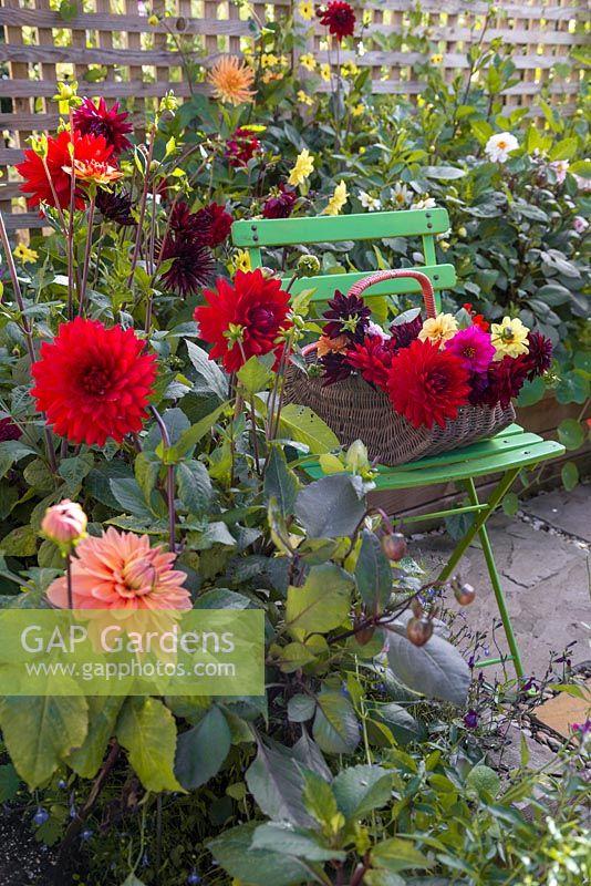 A Trug Of Fresh Cut Flowers Sat On A Chair Within The Dahlia Borders. Dahlia