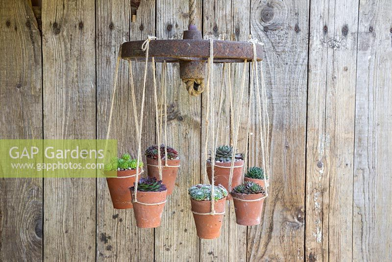 Succulent Chandelier constructed from a cast iron wheel and rope, with potted Sempervivums representing candles or lights