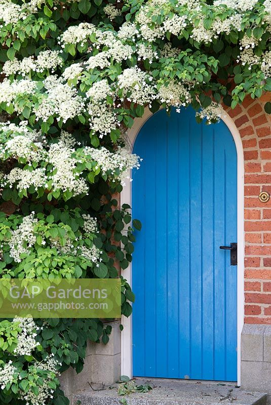 Hydrangea petiolaris - climbing hydrangea around blue door in archway in brick wall. The Garden House, Ashley, June