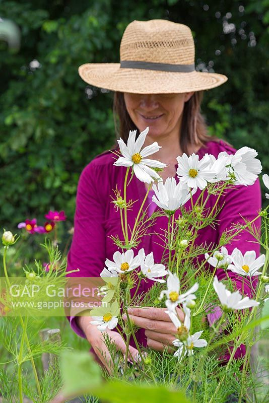 A woman cutting Cosmos bipinnatus 'Purity' flowers