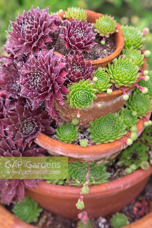 Sempervivum display in layered terracotta pots