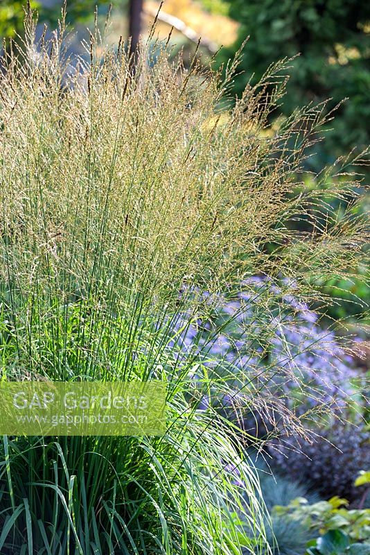 Gap gardens molinia caerulea ssp arundinacea skyracer for Tall purple ornamental grass