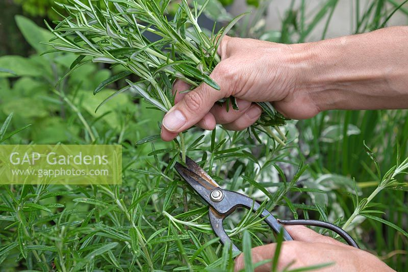 Cutting sprigs of Rosmarinus officinalis
