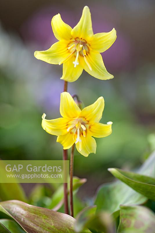 Erythronium 'Kondo', Adder's Tongue. Perennial, April. Plant portrait of yellow  flowers.