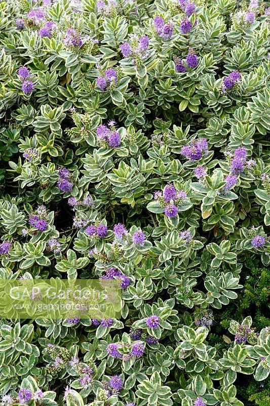 GAP Gardens - Hebe x andersonii \'Variegata\' - Image No: 0550762 ...