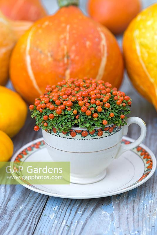 Nertera granadensis planted in tea cup with matching colours, accompanied with Gourds and Pumpkins