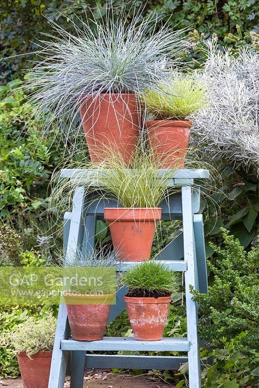 Festuca glauca 'Intense Blue', Carex comans 'Frosted Curls' and mixed grasses on blue ladder