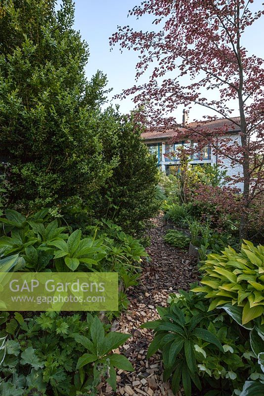 Gap Gardens Bark Path Edged By Hostas Buxus Sempervirens And