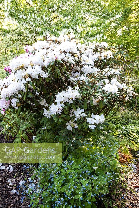 Gap Gardens Spring Woodland With White Flowering Rhododendron