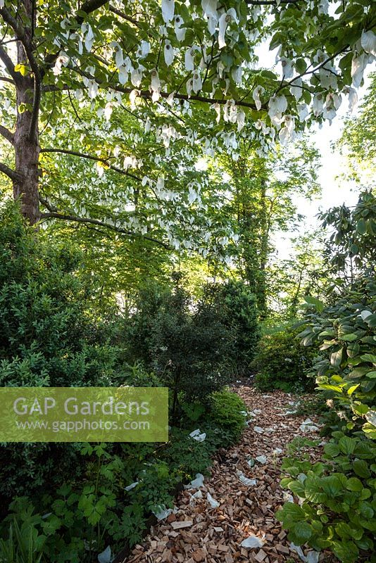 Gap Gardens Bark Path Leading Through Spring Woodland With Davidia