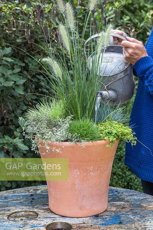 Watering freshly planted container featuring Pennisetum alopecuroides 'Hameln', Festuca glauca, Thymus x citriodorus 'Archer's Gold' and Thymus vulgaris 'Silver Posie'