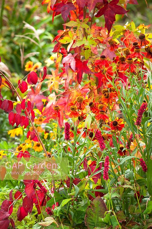 Liquidambar styraciflua 'Slender Silhouette' AGM with Helenium 'Moerheim Beauty' AGM, Persicaria amplexicaulis 'Fat Domino'  and Euonymus oxyphyllus AGM