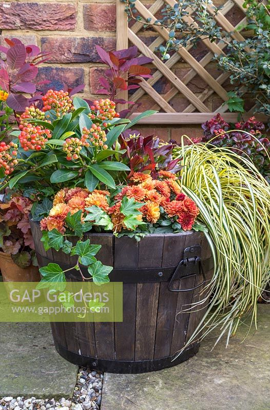 An Autumnal barrel featuring Skimmia japonica 'Pabella', Carex oshimensis 'Evergold', Chrysanthemum Orange Double, Euphorbia, Hedera helix and Leucothoe