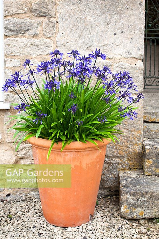 Agapanthus 'Navy Blue' syn A. 'Midnight Star' growing in a terracotta pot. African lily