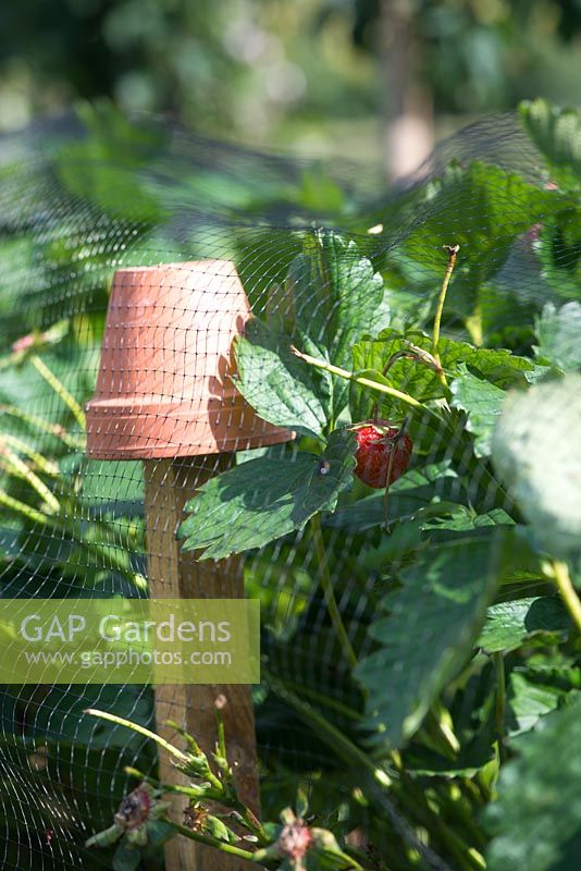 Fruit protection built with netting and flower pots. Strawberries 'vibrant' - fraisier fragaria x ananassa under anti-bird netting